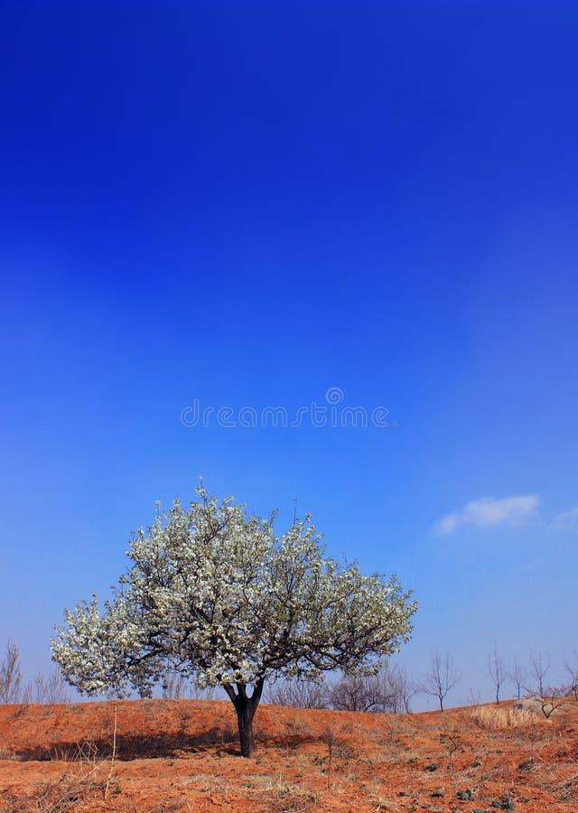 Birnenblüte stockfotos