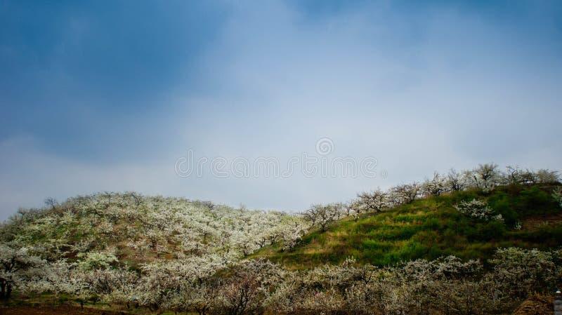 Birnenblume in voller Blüte stockbilder