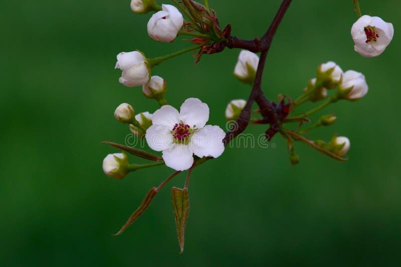 Birnenblumen stockfotografie
