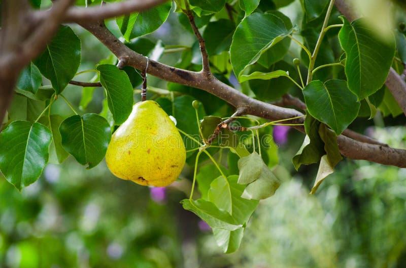 Birnenfrucht, die öffentlich am Baum für Dekoration hängt stockbild