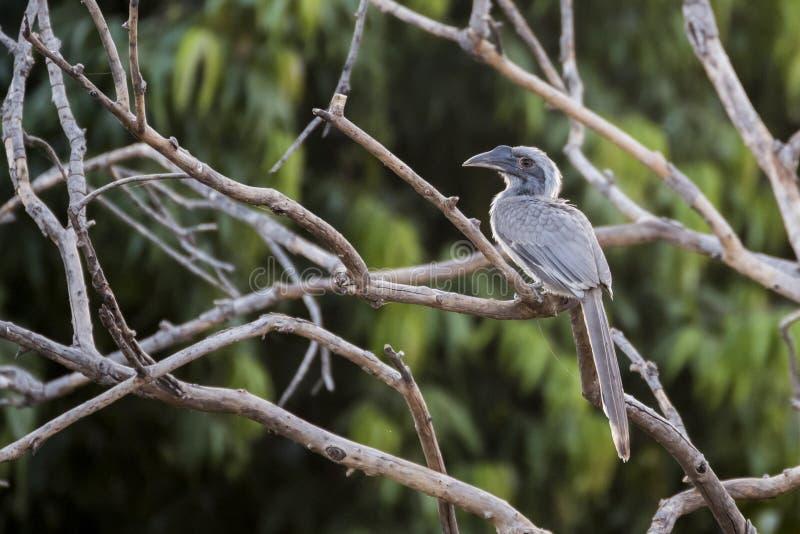 Birostris de Grey Hornbill Ocyceros d'Indien dans Nathdwara, Ràjasthàn, Inde photos stock