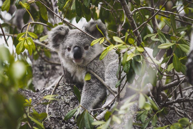 Birra della koala nell'albero fotografia stock libera da diritti