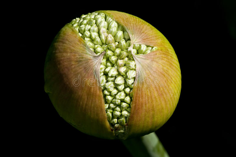 Birth from an allium royalty free stock photography