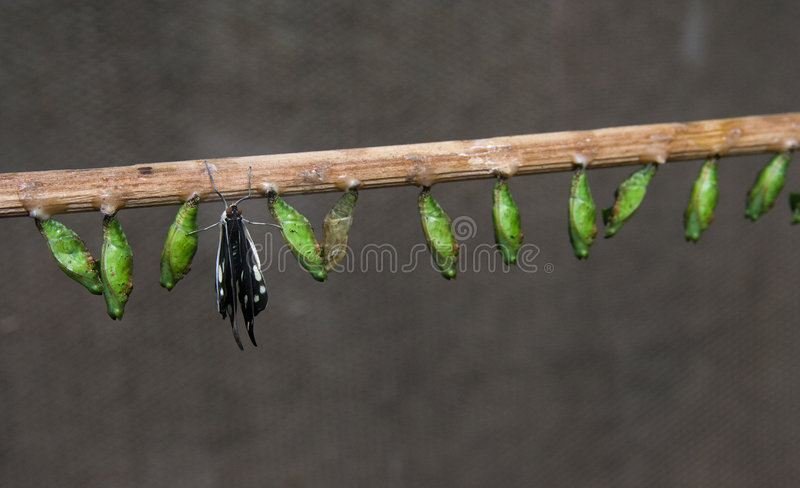 Birth of butterfly royalty free stock photo