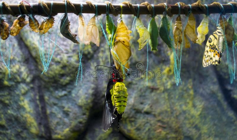 The birth of a butterfly from a chrysalis. The birth of a butterfly from a  chrysalis stock image
