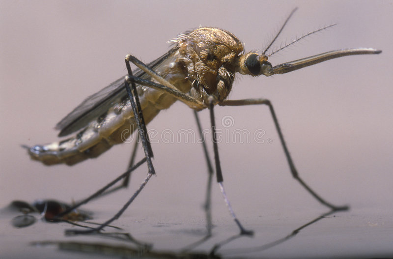 The birth of a female mosquito stock images