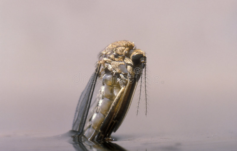 The birth of a female mosquito. Female mosquito half way out of its pupa, hanging from the surface of the water royalty free stock photo