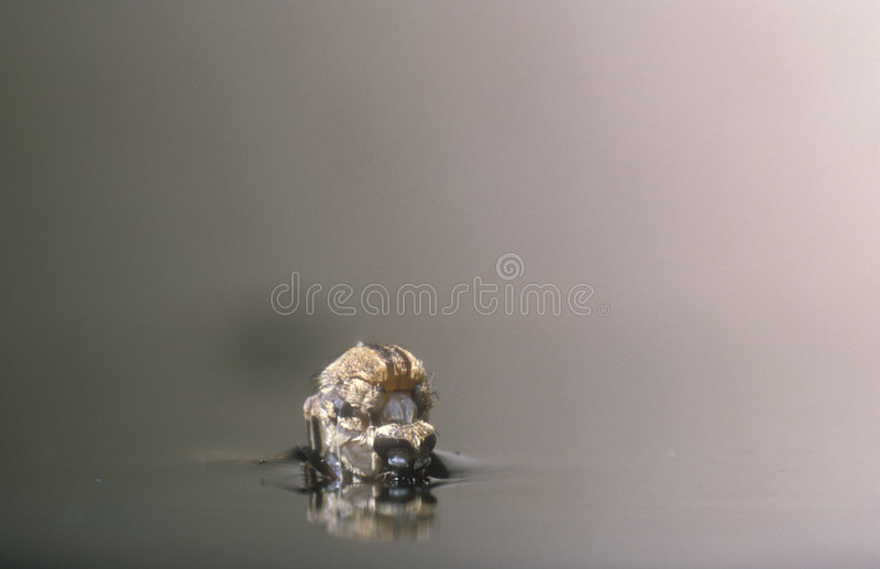 The birth of a female mosquito. Female mosquito just started to get out of its pupa, hanging from the surface of the water royalty free stock image