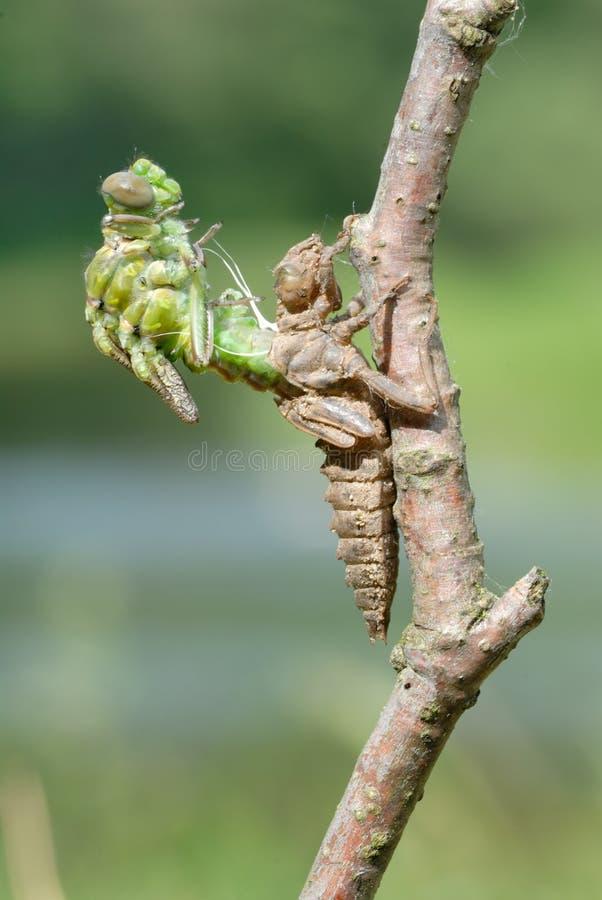 Free Birth Of A Dragonfly (series 5 Photos) Stock Photos - 11604653