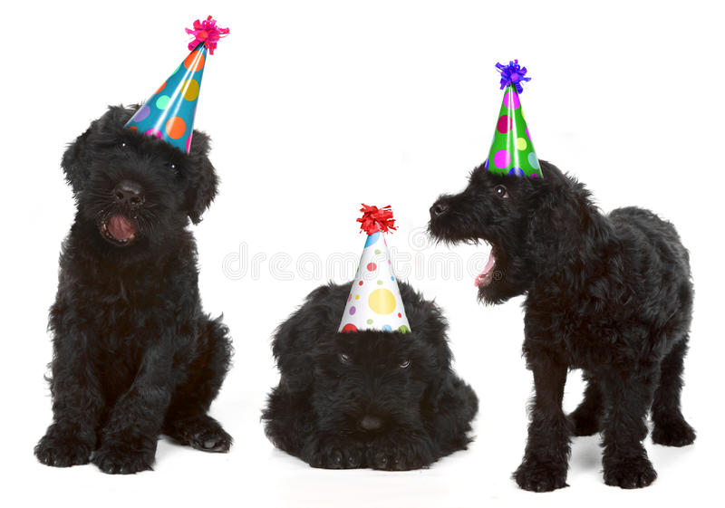 Birthday Black Russian Terriers. Silly Singing Black Russian Dog Terriers Wearing Birthday Hats stock photos