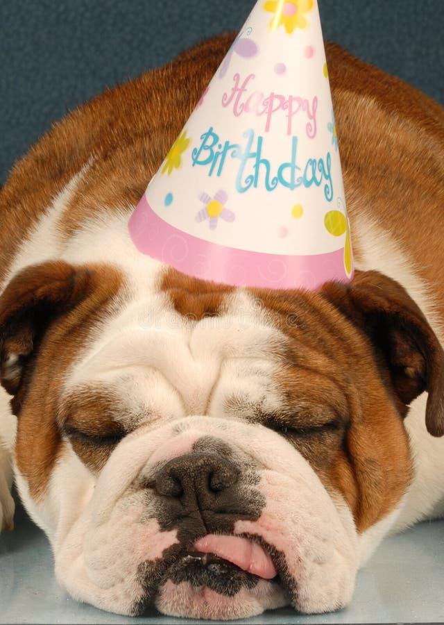 Birthday bulldog. Party animal - english bulldog wearing birthday party hat on blue background stock photos