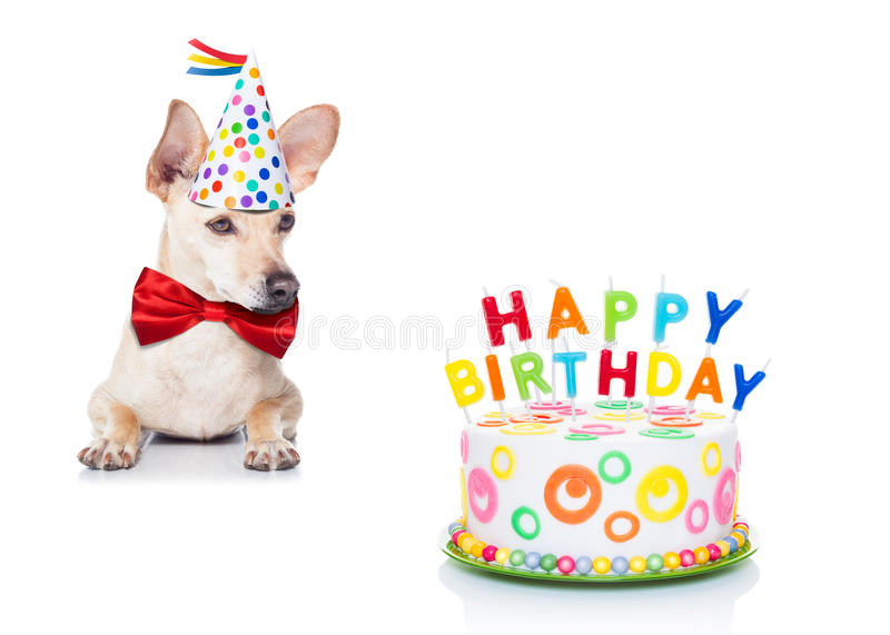 Birthday cake dog. Chihuahua dog hungry for a happy birthday cake with candles ,wearing red tie and party hat , isolated on white background royalty free stock images