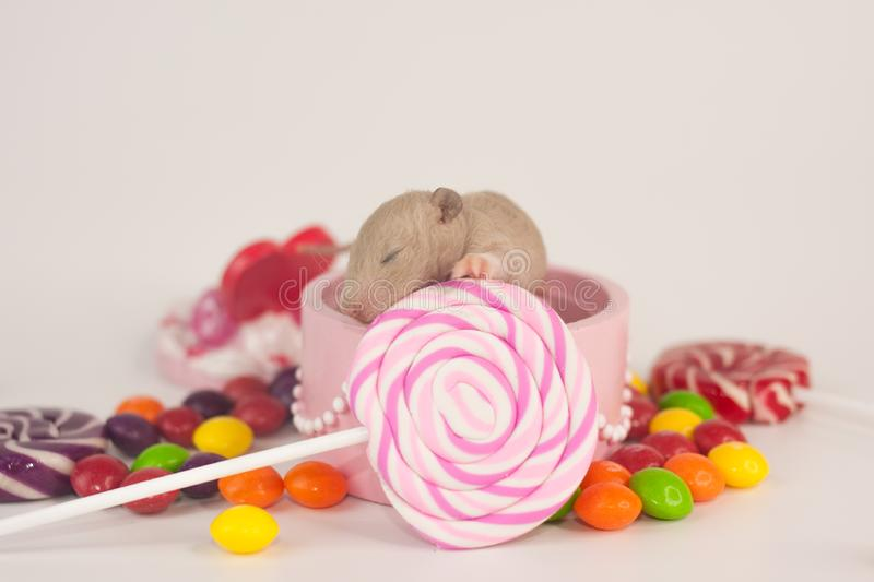Birthday concept. Festive rat with candy. Newborn rodent royalty free stock photography