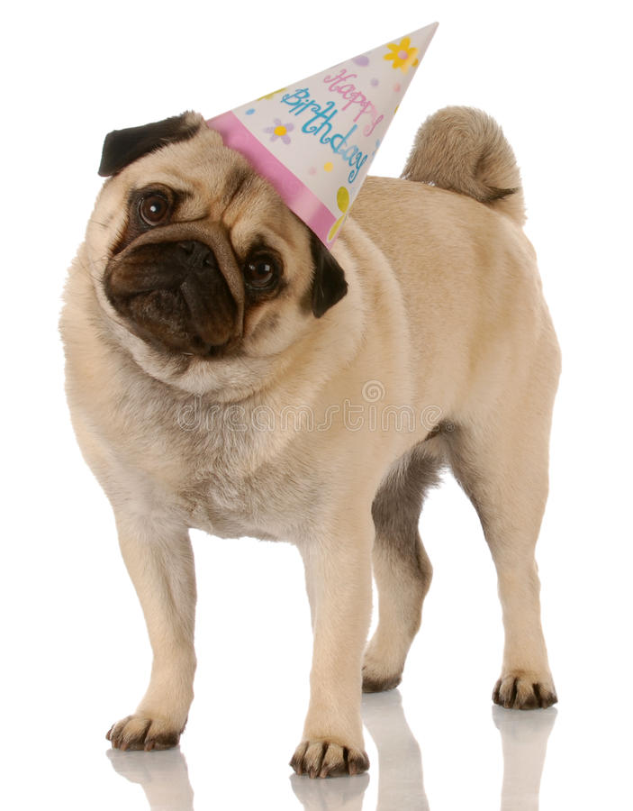 Birthday dog. Pug standing wearing birthday hat on white background stock photography