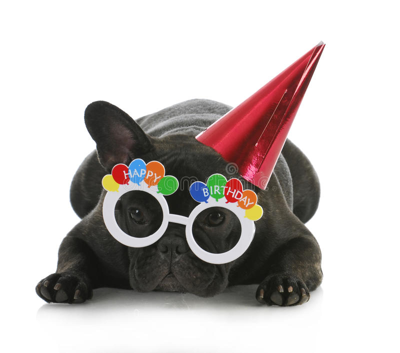 Birthday dog. French bulldog wearing happy birthday glasses and hat on white background stock image