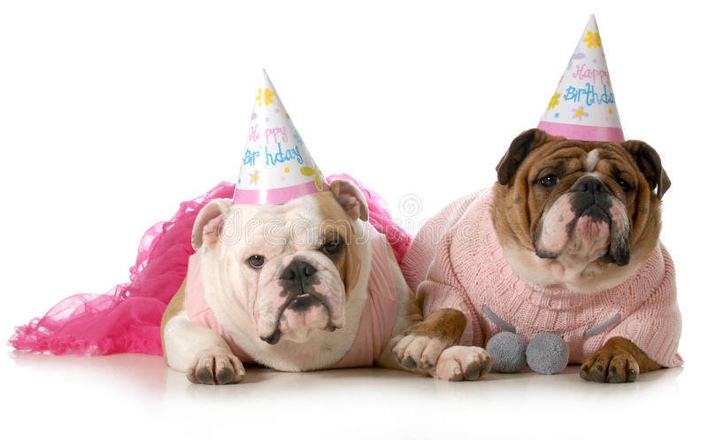 Birthday dog. English bulldogs wearing party clothes and birthday hats isolated on white background stock photos