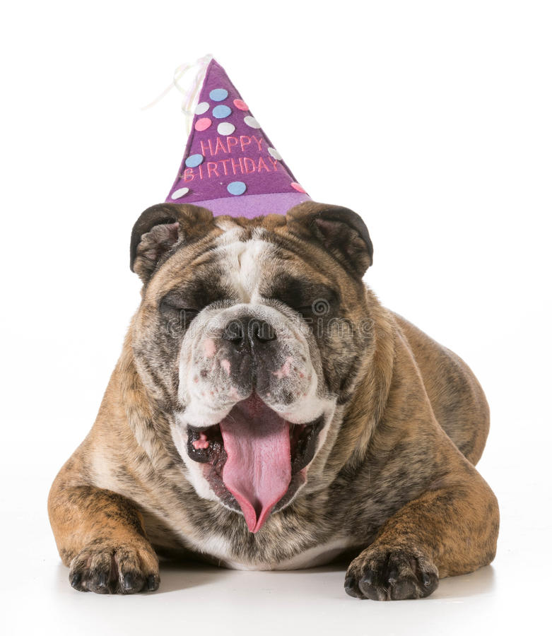 Birthday dog. English bulldog yawning wearing happy birthday hat - 2 year old brindle male royalty free stock photos