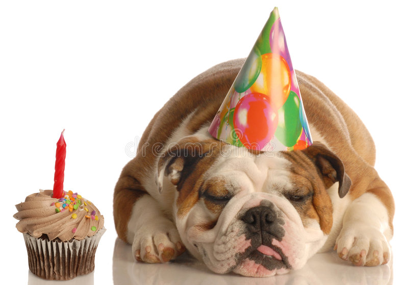 Birthday dog. Party pooper - english bulldog with birthday party hat laying beside chocolate cupcake royalty free stock photos