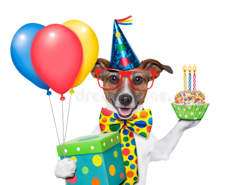 Birthday dog. With balloons and a cupcake stock image