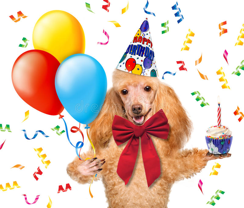 Birthday dog with balloons and a cupcake. On a white background royalty free stock photo