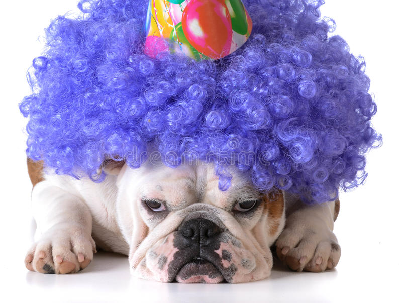 Birthday dog. Bulldog humanized as female with wig and hat on white background stock images