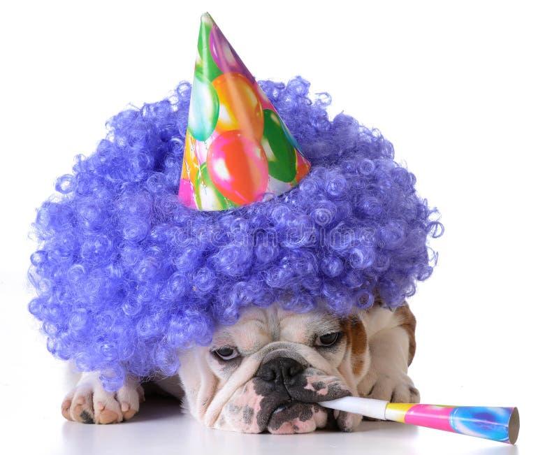 Birthday dog. Bulldog wearing clown wig and birthday hat on white background stock photos
