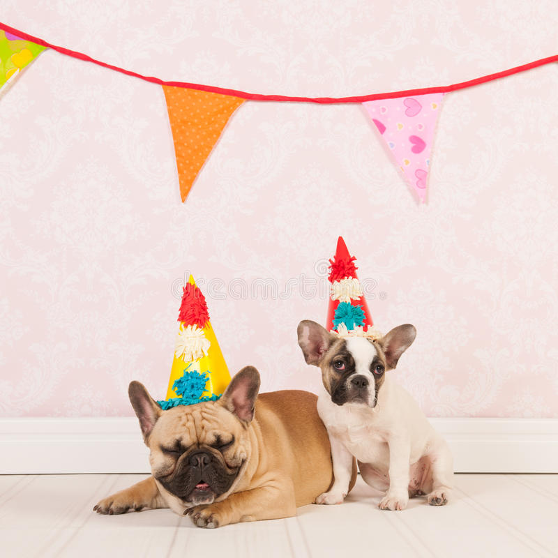Birthday dogs. Two French bulldogs are having birthday in room with vintage wallpaper stock images