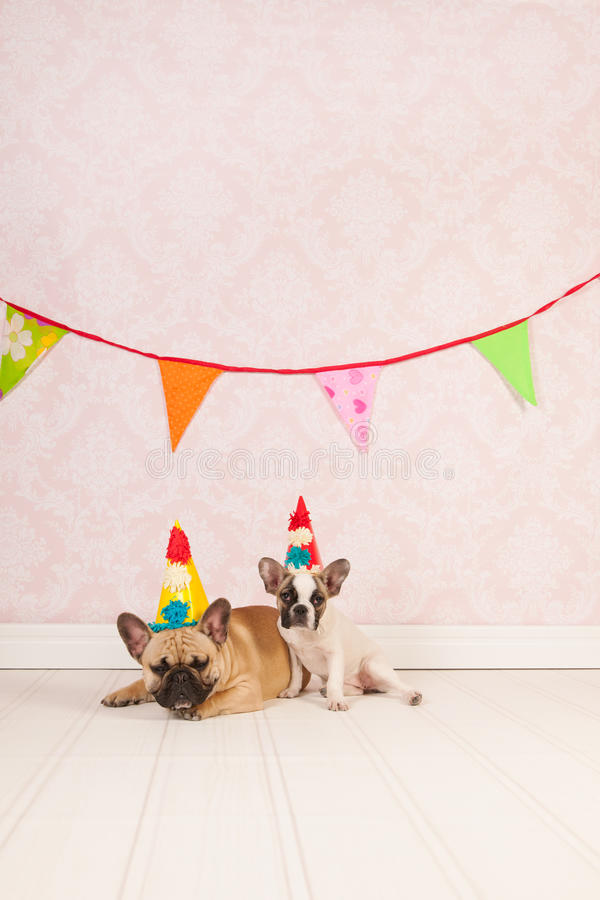 Birthday dogs. Two French bulldogs are having birthday in room with vintage wallpaper royalty free stock photos