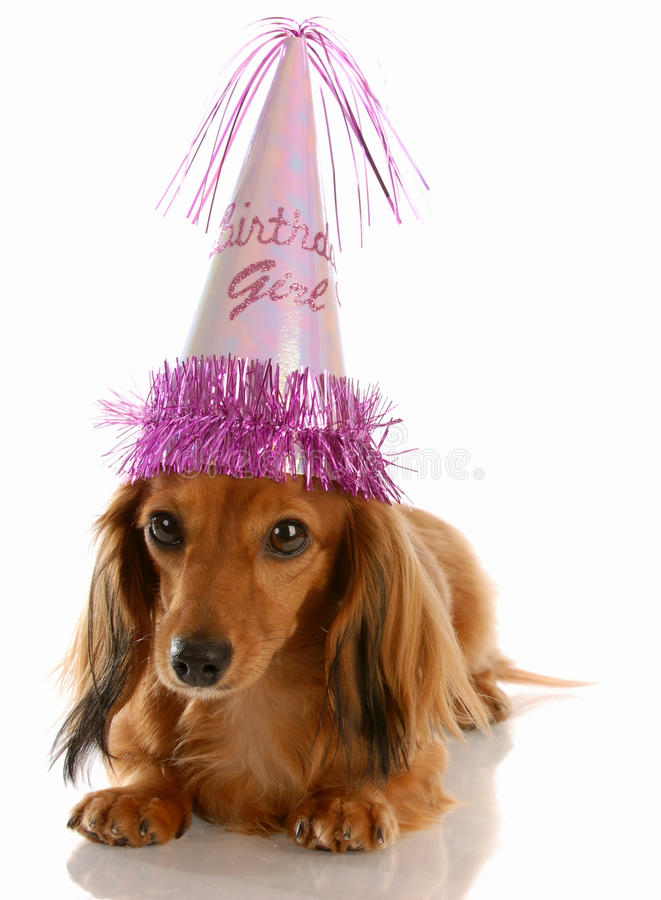 Birthday girl. Adorable dachshund wearing birthday girl hat on white background royalty free stock photo