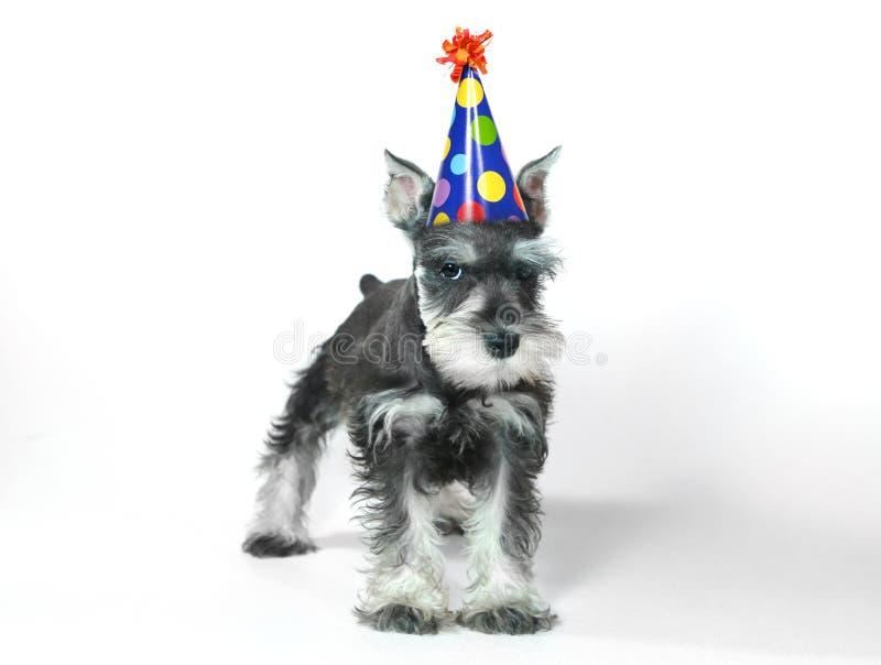 Birthday Hat Wearing Miniature Schnauzer Puppy Dog on White. Birthday Celebrating Baby Miniature Schnauzer Puppy Dog on White stock images