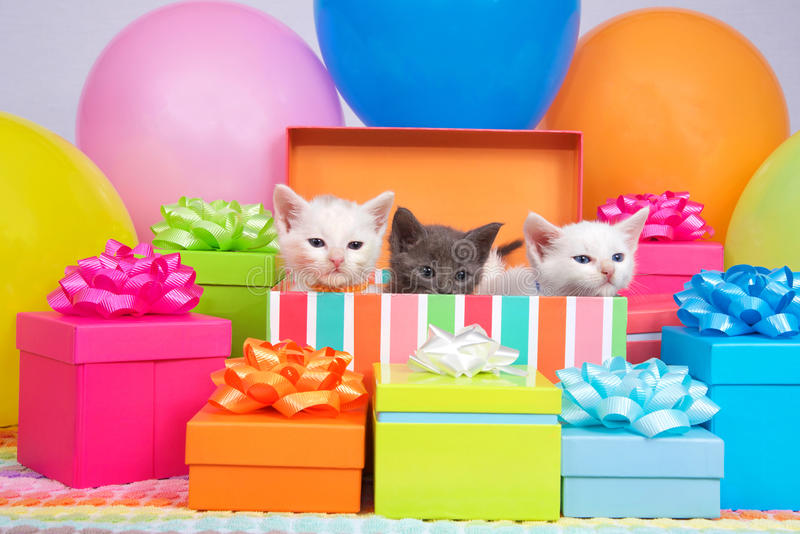 Birthday Kittens. Two small white kittens and one gray kitten peaking out of a birthday present box, surrounded by bright colorful party balloons and presents royalty free stock photos