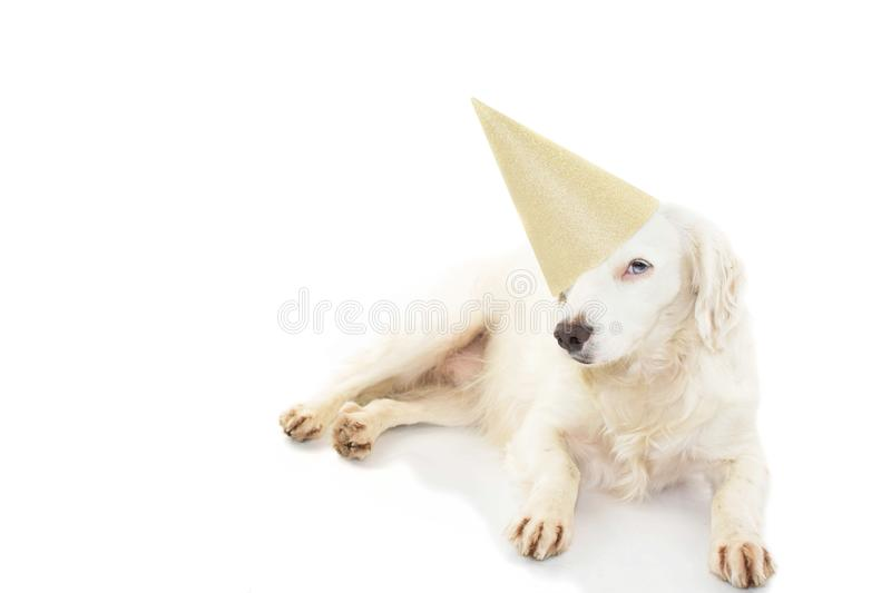 BIRTHDAY OR NEW YEAR DOG PARTY HAT. BEAUTIFUL PUPPY WITH BLUE COLORED EYES WEARING A GOLDEN PARTY HAT LYING DOWN. ISOLATED STUDIO. SHOT AGAINST WHITE BACKGROUND stock photo