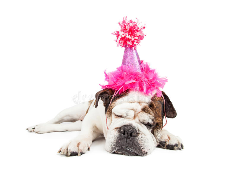 Birthday Party Pooper Dog in Pink Hat. Funny photo of a tired Bulldog breed dog laying down and sleeping while wearing a fancy pink birthday hat royalty free stock photography