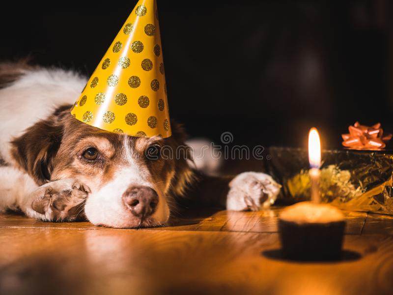 Birthday pet. The dog in the cap looks at a small cake with a candle.  royalty free stock photos