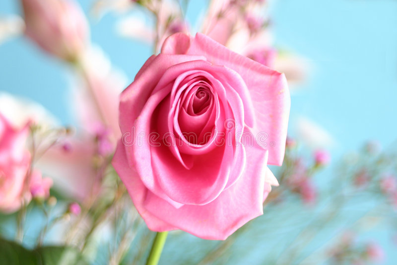 Birthday Rose Royalty Free Stock Images