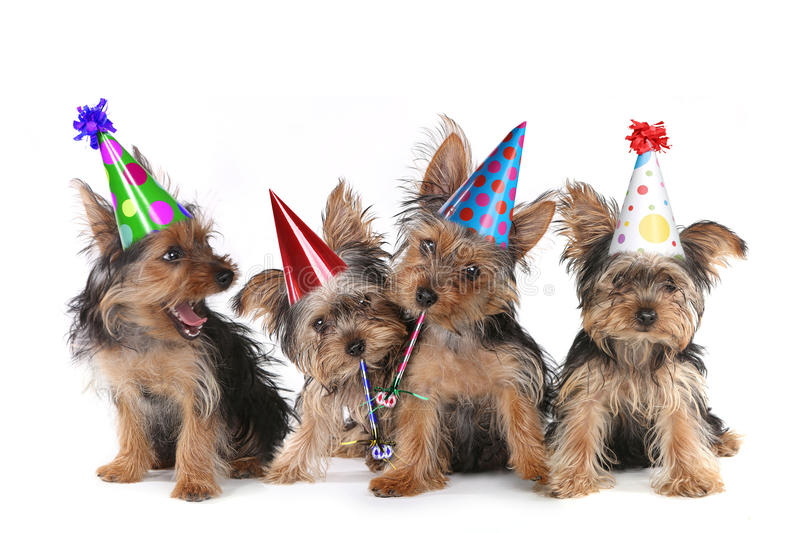 Birthday Theme Yorkshire Terrier Puppies on White. Happy Birthday Theme Yorkshire Terrier Puppies on White Singing royalty free stock photography
