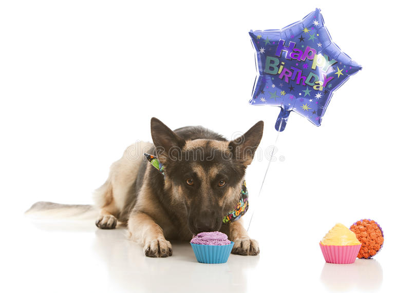Birthday Treat. German Shepherd dog wearing a birthday bandanna and eating a cupcake. Isolated on white stock images