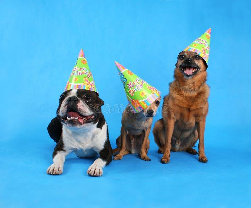 Birthday trio. Three dogs at a birthday celebration with hats on royalty free stock photos
