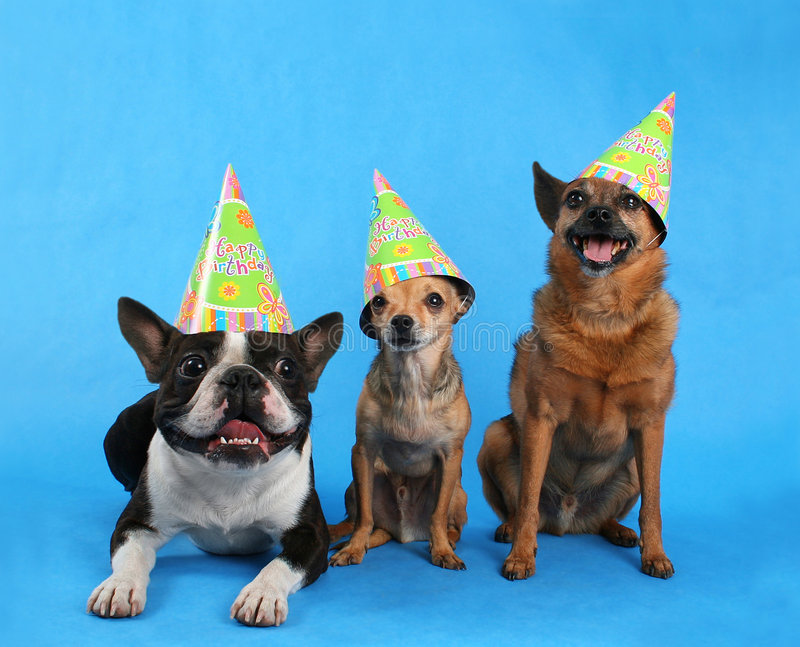 Birthday trio. Three dogs with birthday hats on stock image