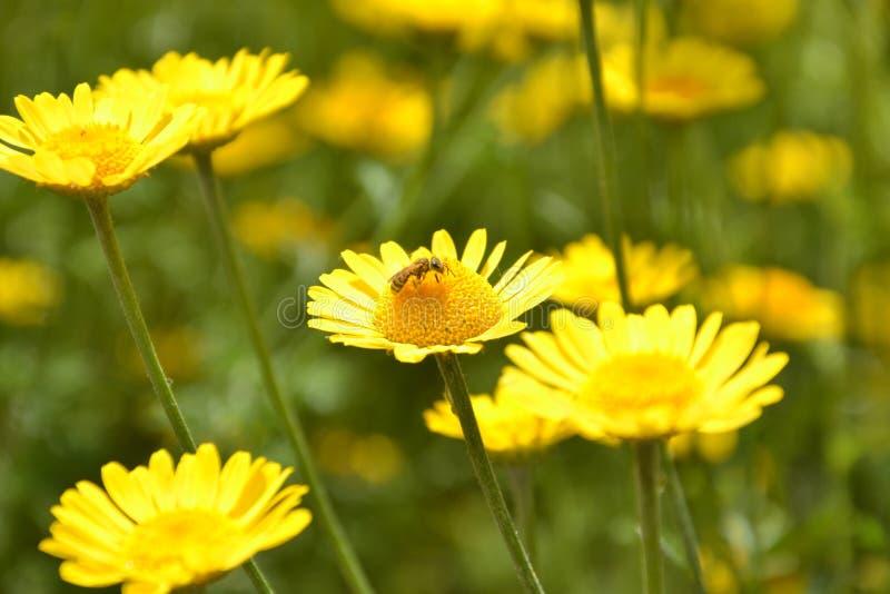 Bisammanträde på en blomma royaltyfri fotografi