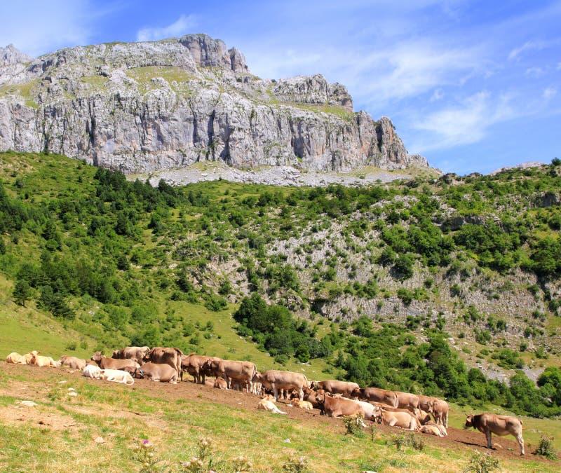 Bisaurin HöchstPyrenees schüchtern Vieh auf Tal ein lizenzfreies stockfoto