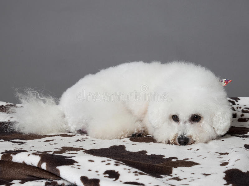 Download Bischon frise stock photo. Image of animal, face, fluffy - 30731464