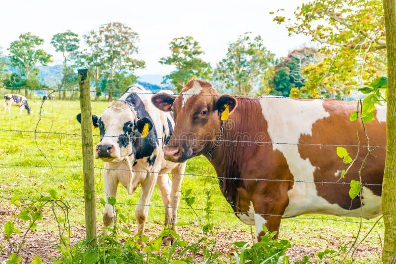 Biscotto di Oreo e vacca da latte del cioccolato immagine stock libera da diritti