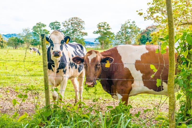 Biscotto di Oreo e vacca da latte del cioccolato immagini stock libere da diritti