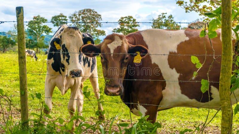 Biscotto di Oreo e vacca da latte del cioccolato fotografia stock