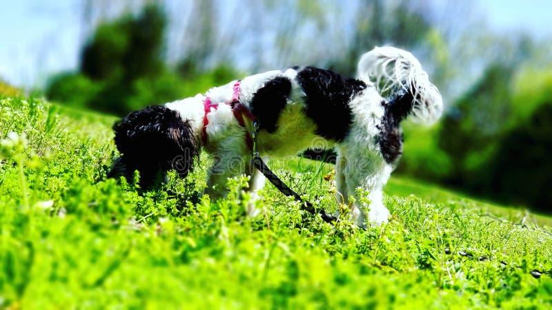 Biscuit curieux le chien photo libre de droits