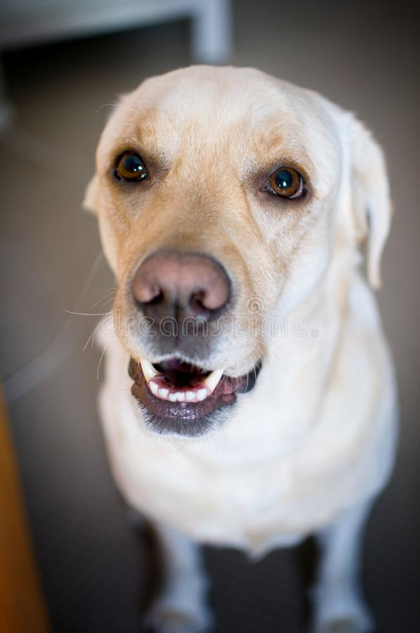 Biscuit Labrador stock image