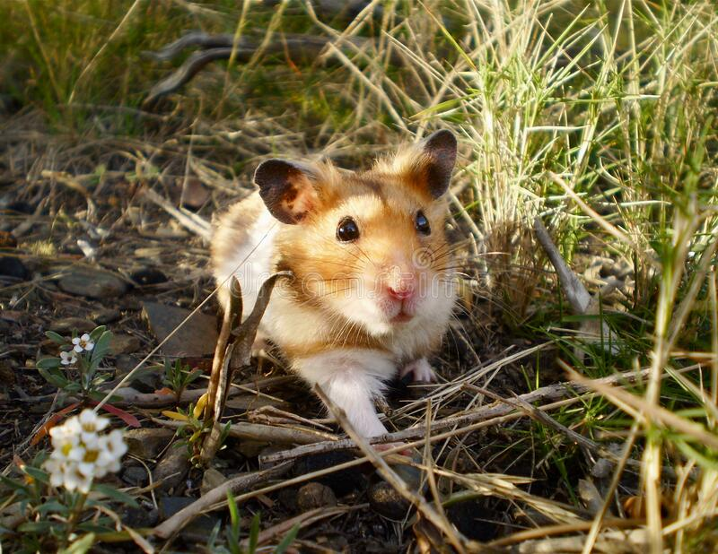Biscuit le hamster sauvage ! image stock