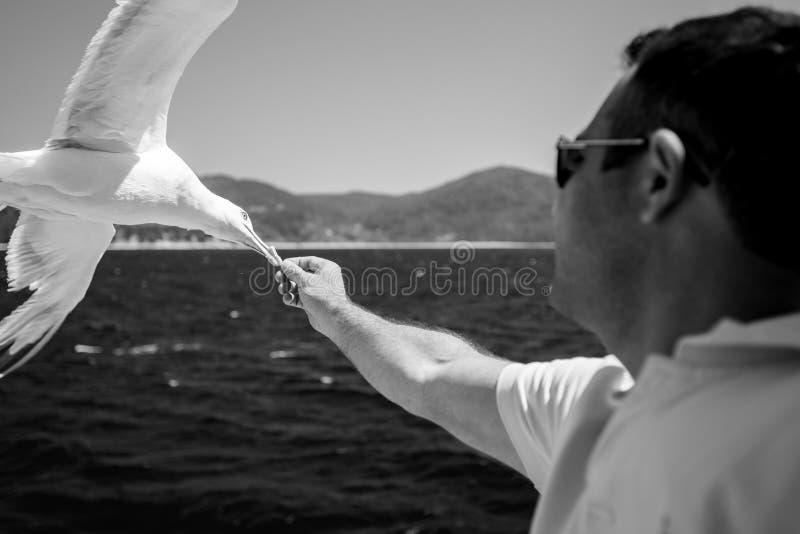 Biscuits de alimentation à la mouette volante en Grèce images libres de droits
