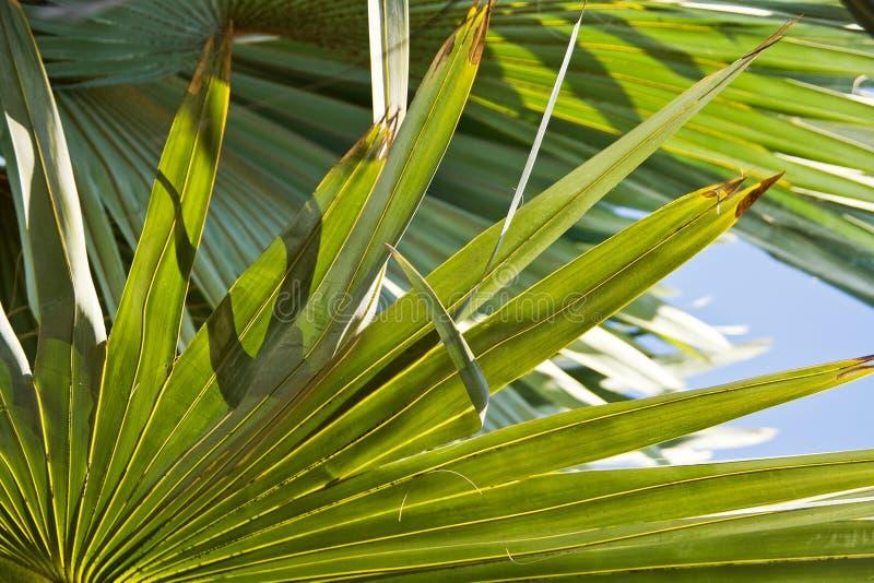 Bismarck Palm leaves